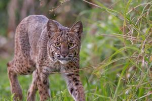 Wild Critter Adventures - Bobcat