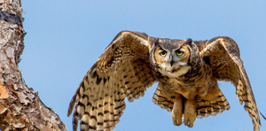 Wild Critter Adventures - Great Horned Owl